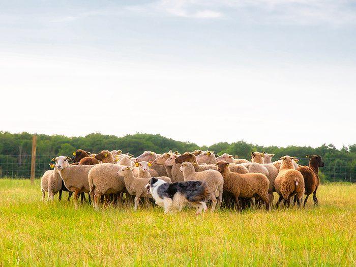 Chien de berger est l'un des métiers pour chiens.