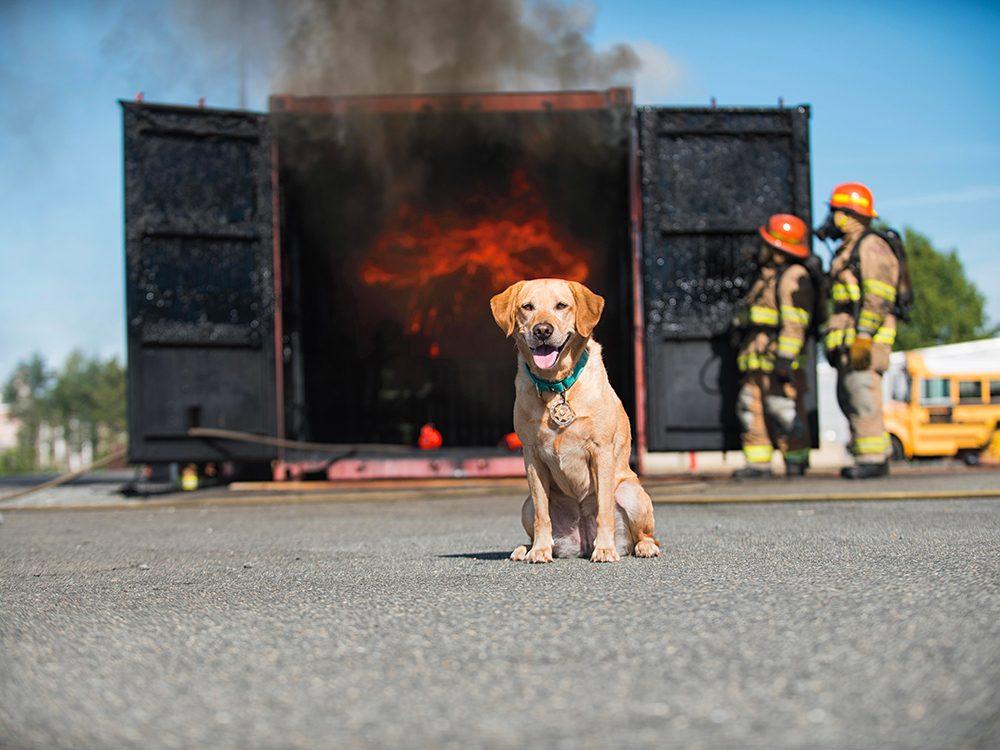 Chien pompier est l'un des métiers pour chiens.