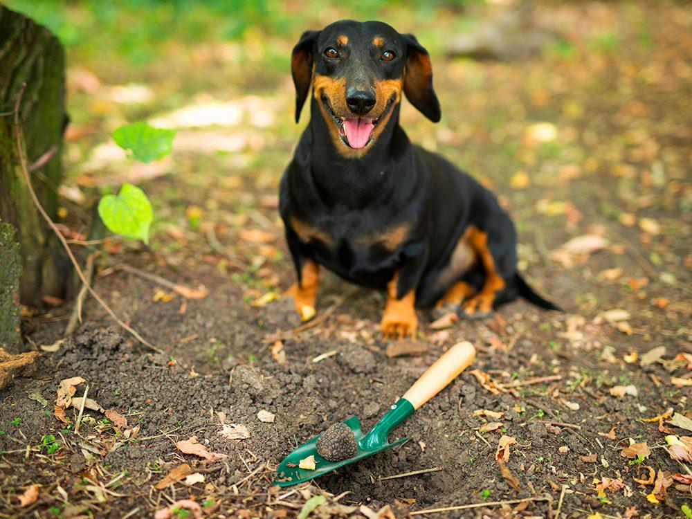 Chien truffier est l'un des métiers pour chiens.