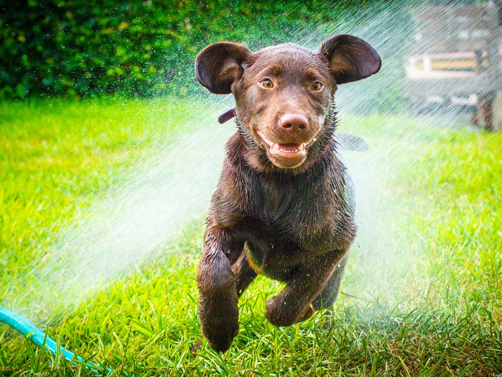Chiens mouillés: le Labrador le plus heureux du monde.