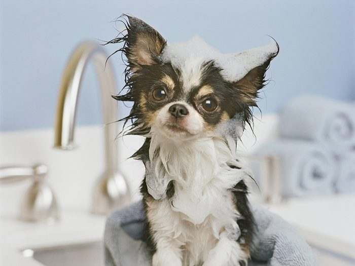 Chiens mouillés: ce Chihuahua super à l'aise.
