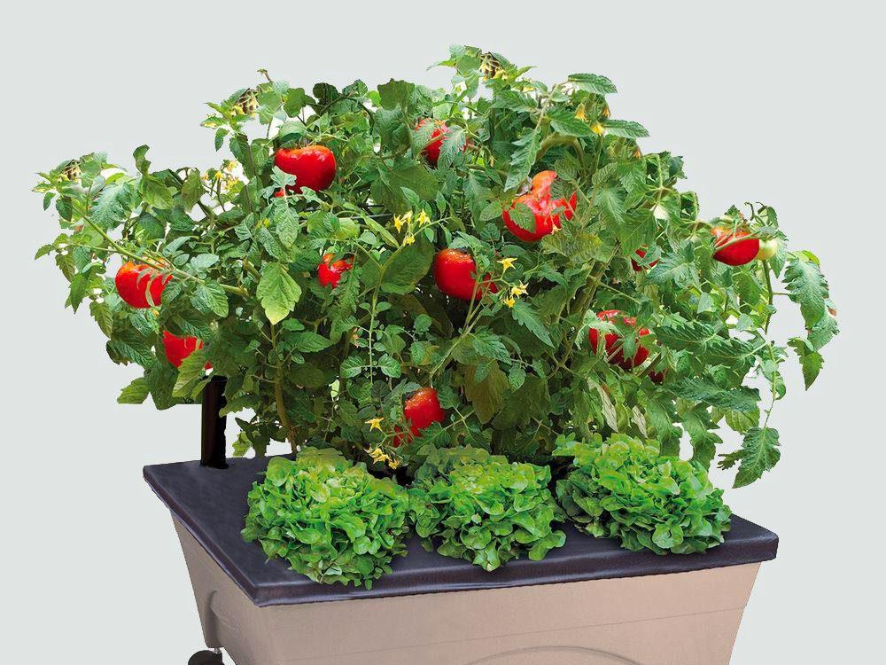 Les tomates sont faciles à cultiver.