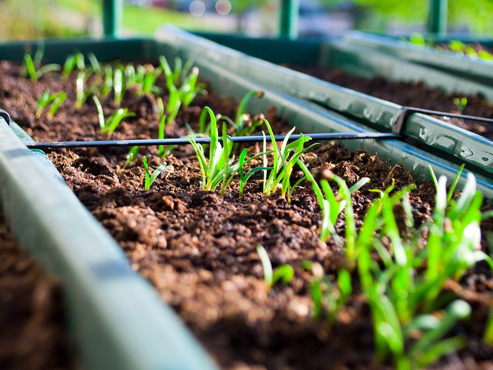 Facile à cultiver: out d'abord, ne paniquez pas! Il ne manquera pas de nourriture!