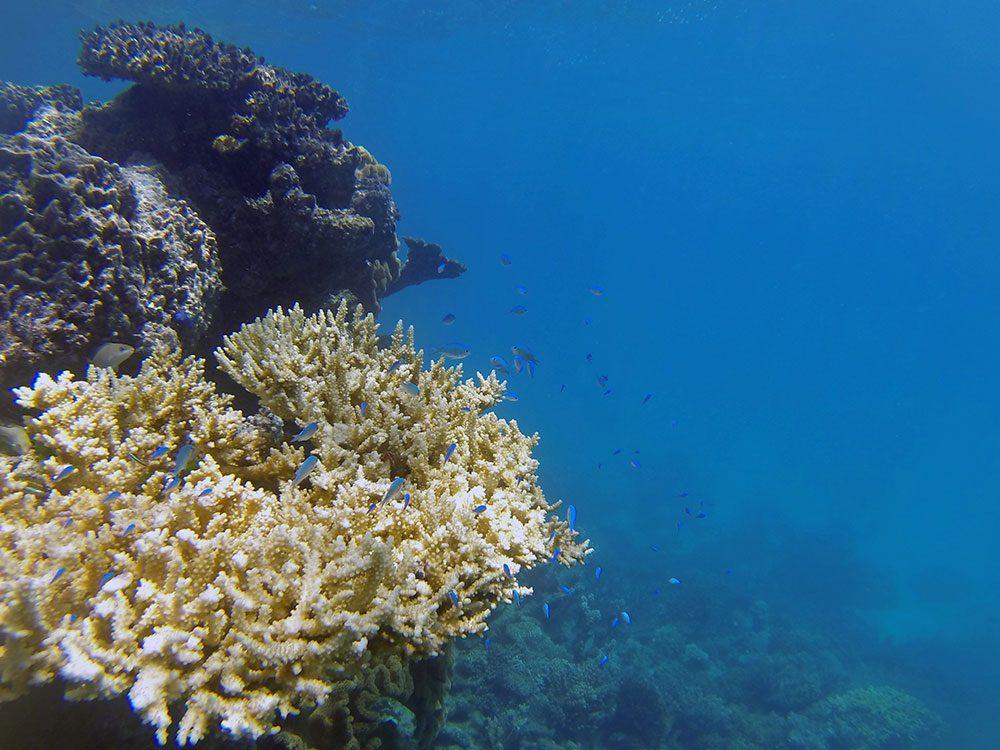 Le blanchissement massif des coraux a touché la Grande Barrière deux années successives, en 2016et en 2017.