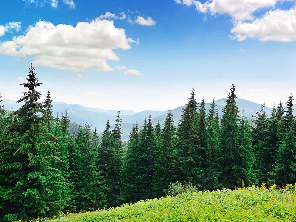 Les pins peuvent provoquer des allergies.