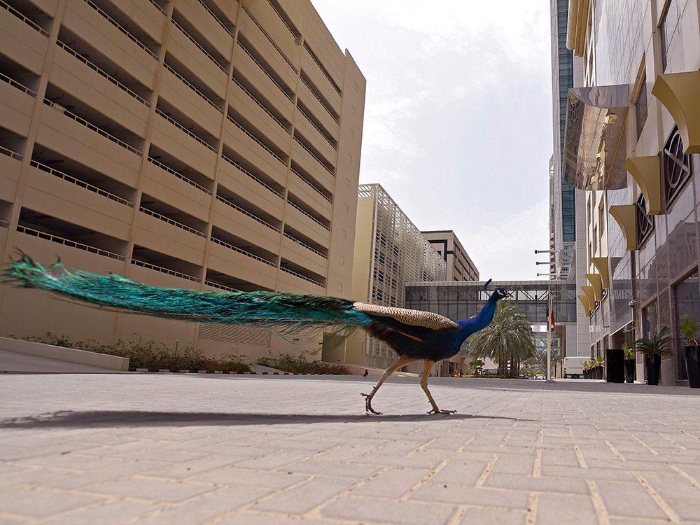 Des paons à Dubaï pendant la pandémie de coronavirus.