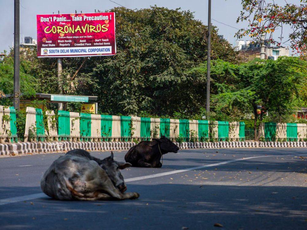 Des vaches à New Delhi pendant la pandémie de coronavirus.
