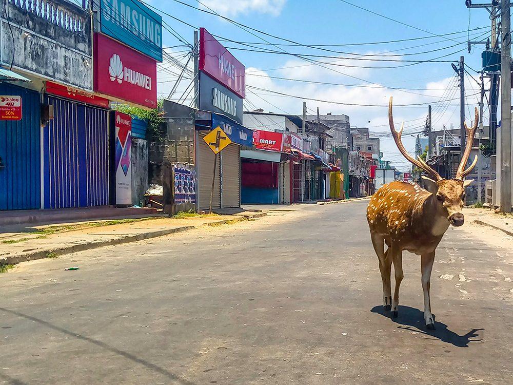 Un cerf au Sri Lanka pendant la pandémie de coronavirus.