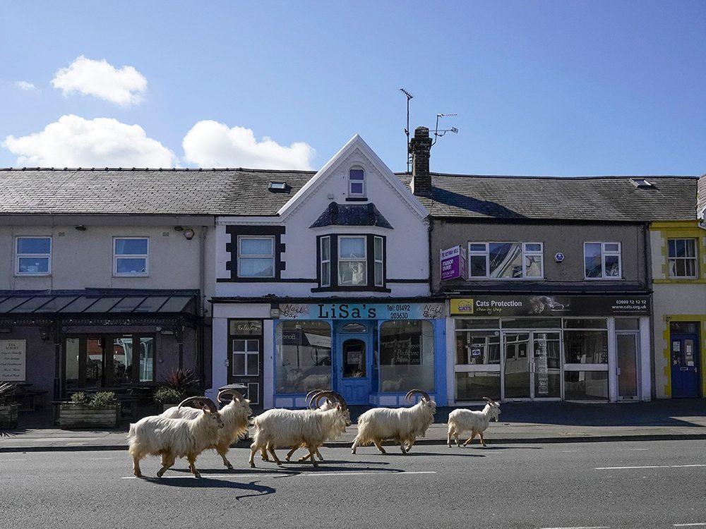 Des chèvres à Llandudno pendant la pandémie de coronavirus.