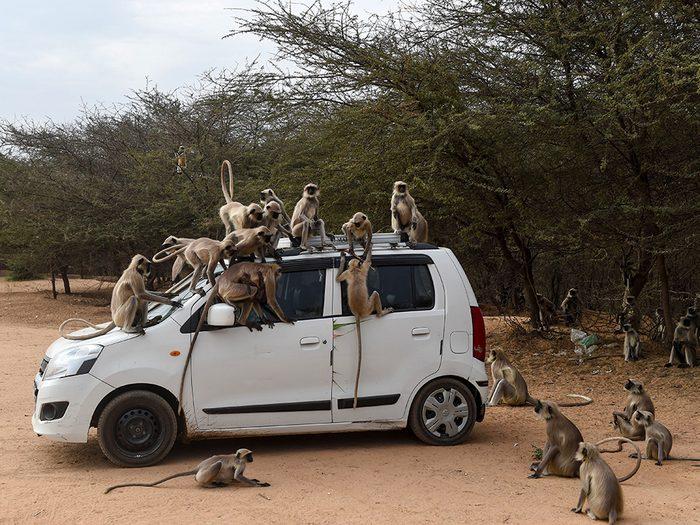 Des singes à Ahmedabad pendant la pandémie de coronavirus.