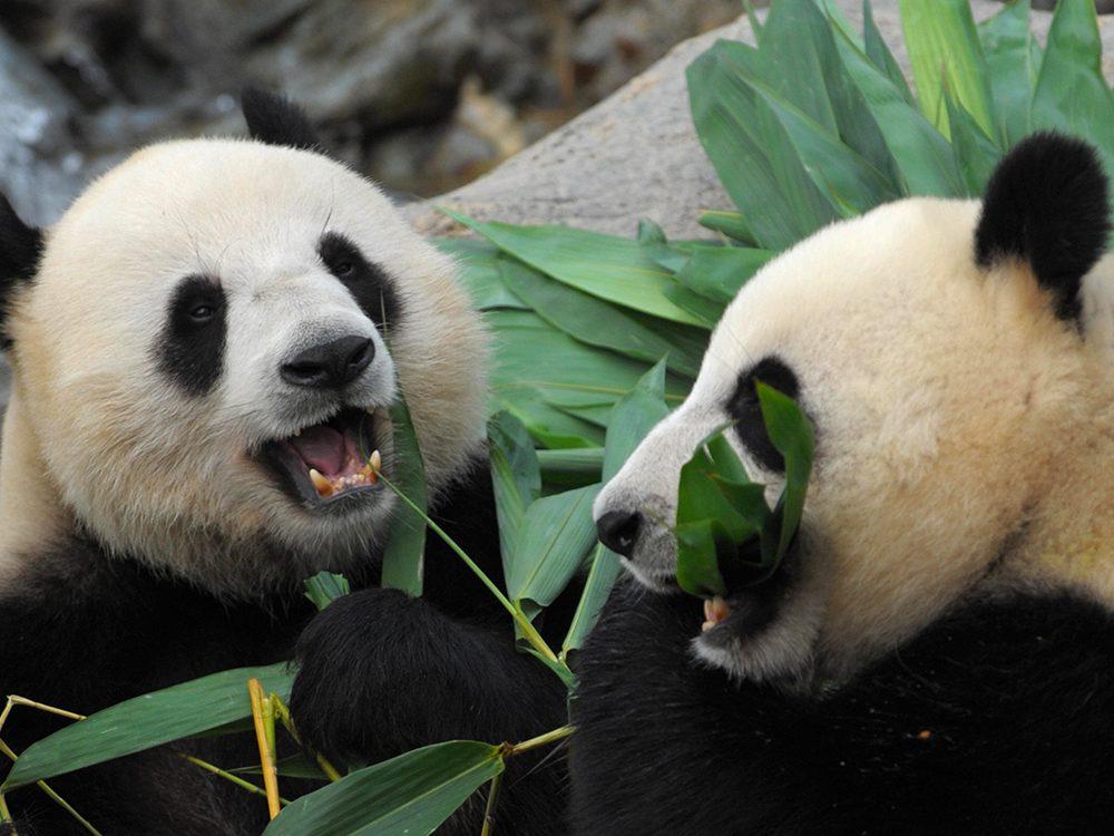 Des pandas dans un zoo de Hong Kong pendant la pandémie de coronavirus.