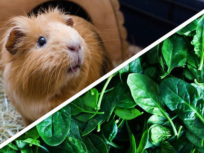 La salade de fruits et de légumes pour cochon d'Inde est l'un des produits pour animaux que vous pouvez faire à la maison.