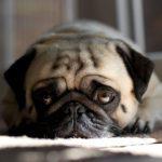 14 signaux utilisés par le chien pour demander de l'aide