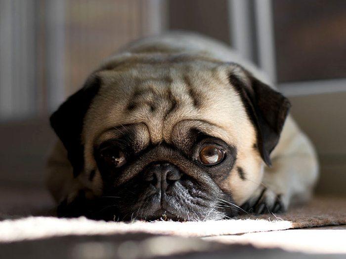 Faites attention si votre chien pleurniche au même endroit.