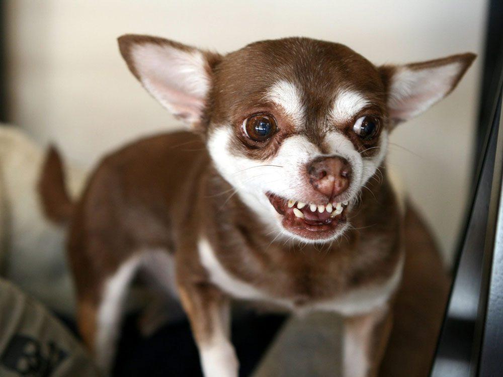 Faites attention si votre chien se cache, aboie ou grogne contre la visite.