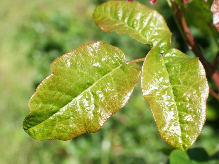 Le lierre vénéneux, chêne et sumac font partie des dangers de l'été à surveiller.