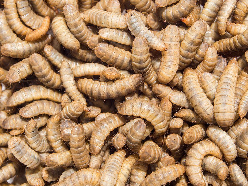Insectes comestibles: les hommes seraient plus enclins à manger des larves de mouche que les femmes.