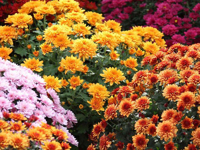 Le chrysanthème est parfait pour le jardinage en pot.