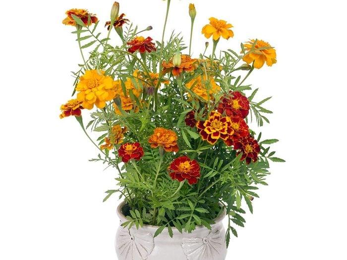 La marigold est parfaite pour le jardinage en pot.