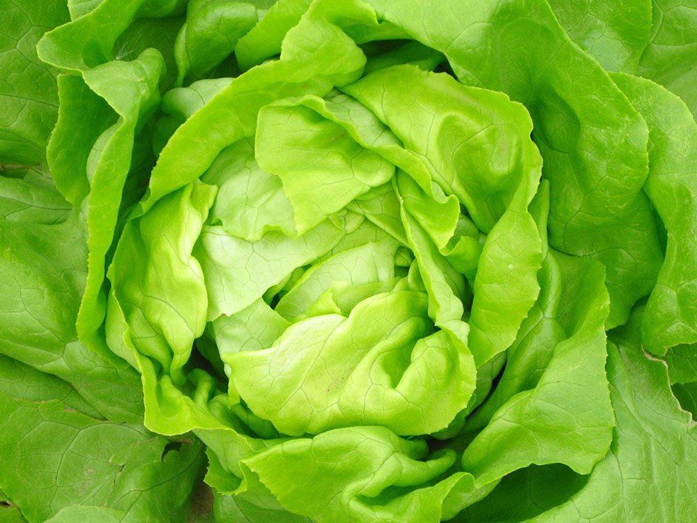 La laitue fait partie des légumes qui poussent en un temps record dans le potager!