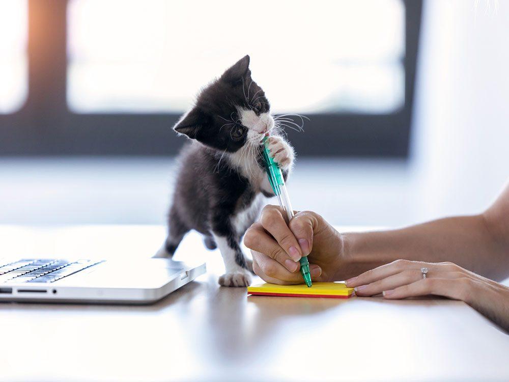 Ce petit chat volontaire pour le télétravail.
