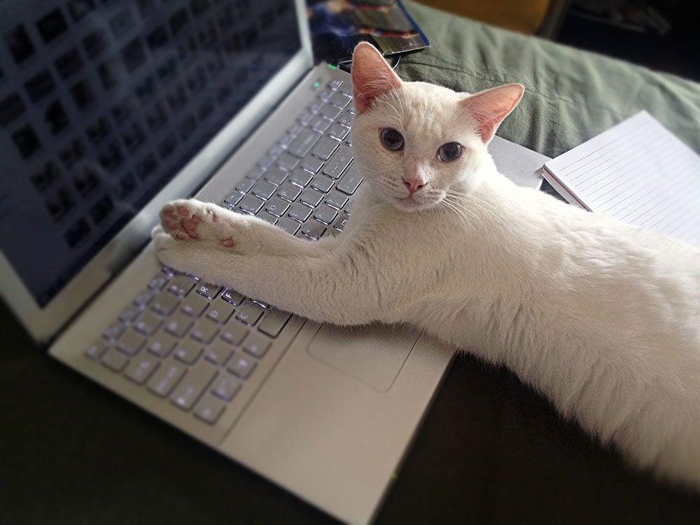 Un beau chat blanc en télétravail.