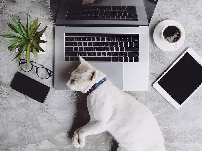 Ce chat en télétravail est un travailleur acharné.