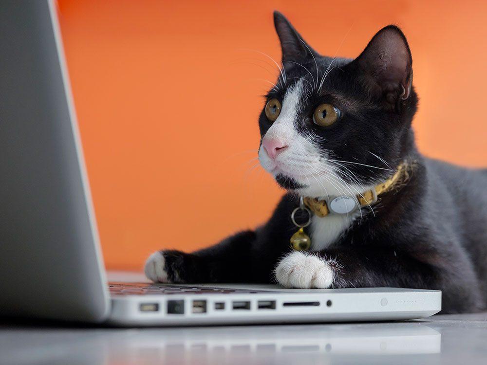 Ce chat noir et blanc concentré pendant son télétravail.
