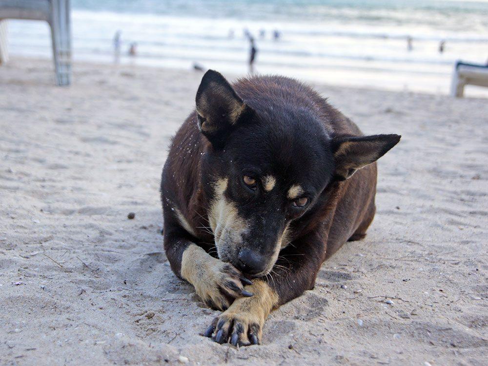 Des cors peuvent expliquer pourquoi votre chien se lèche les pattes.
