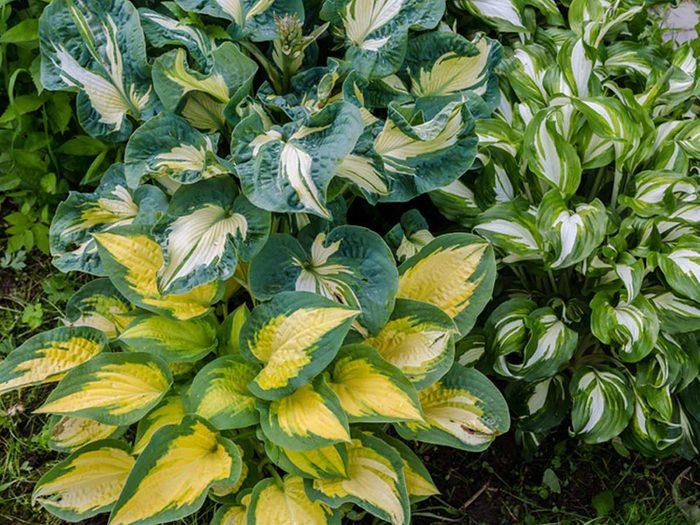 Ne vous laissez pas emporter sur les hostas en panachant votre jardin.