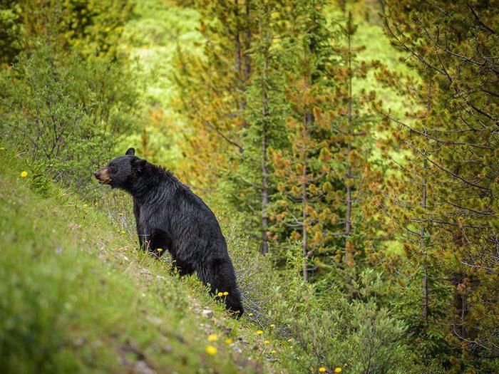 Une amitié réciproque avec un ours noir.