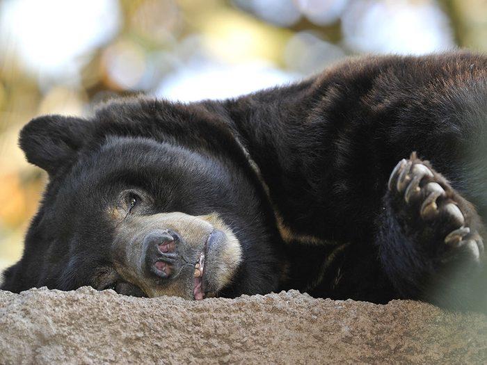 Bosco, l'ours noir gourmand.