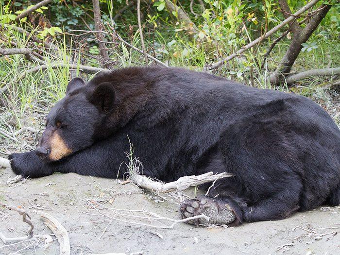 La première nuit avec un ours noir.