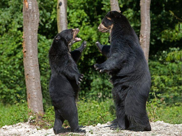 L'ours noir peut être très protecteur.