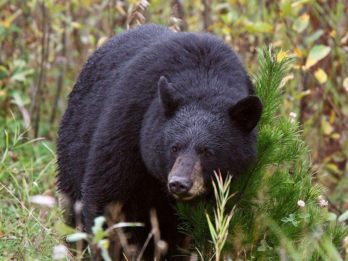 Rencontre avec Bosco l'ours noir.