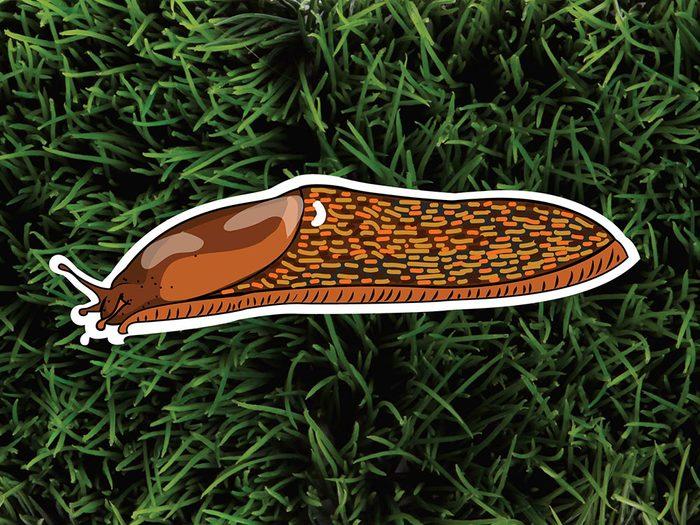 Les limaces font partie des parasites de jardin.