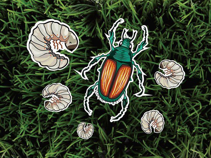 Les vers blancs et les scarabées japonais font partie des parasites de jardin.