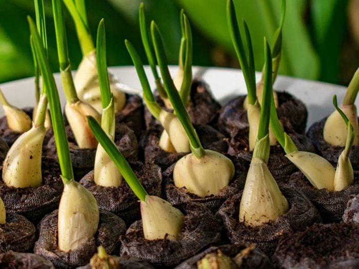 Cultivez l'ail comme plante antiparasitaire pour votre jardin.