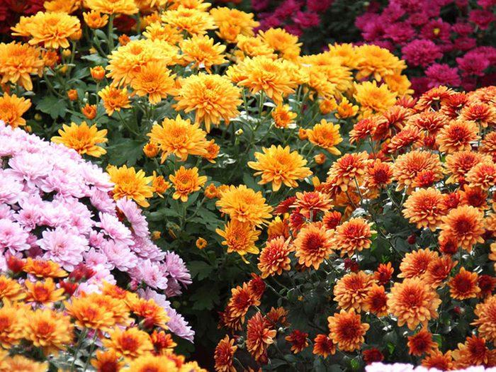 Utilisez les chrysanthèmes comme plantes antiparasitaires pour votre jardin.
