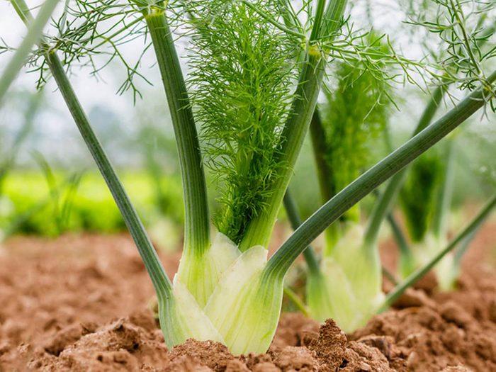 Utilisez le fenouil comme plante antiparasitaire pour votre jardin.