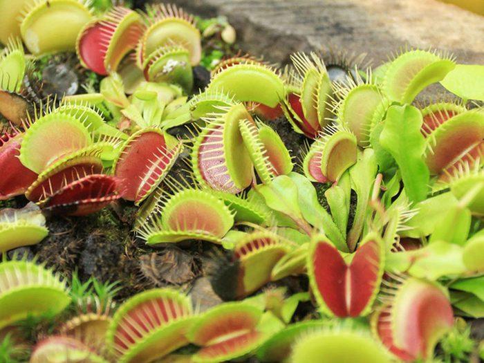 Utilisez les pièges à mouche vénus comme plantes antiparasitaires pour votre jardin.