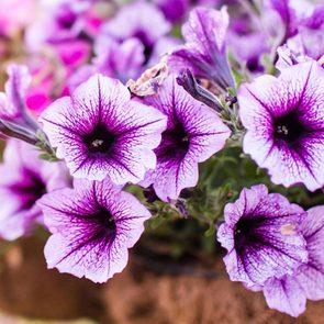 Utilisez les pétunias comme plantes antiparasitaires pour votre jardin.