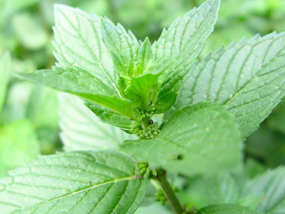 Utilisez la menthe comme plante antiparasitaire pour votre jardin.
