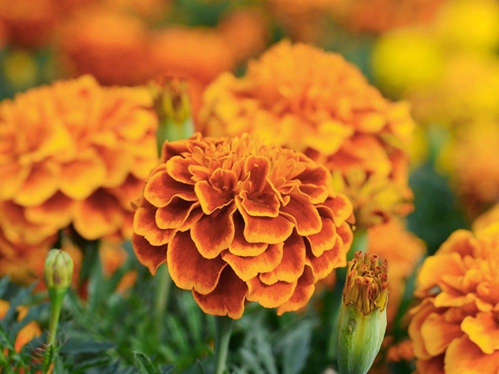 Utilisez le souci comme plante antiparasitaire pour votre jardin.