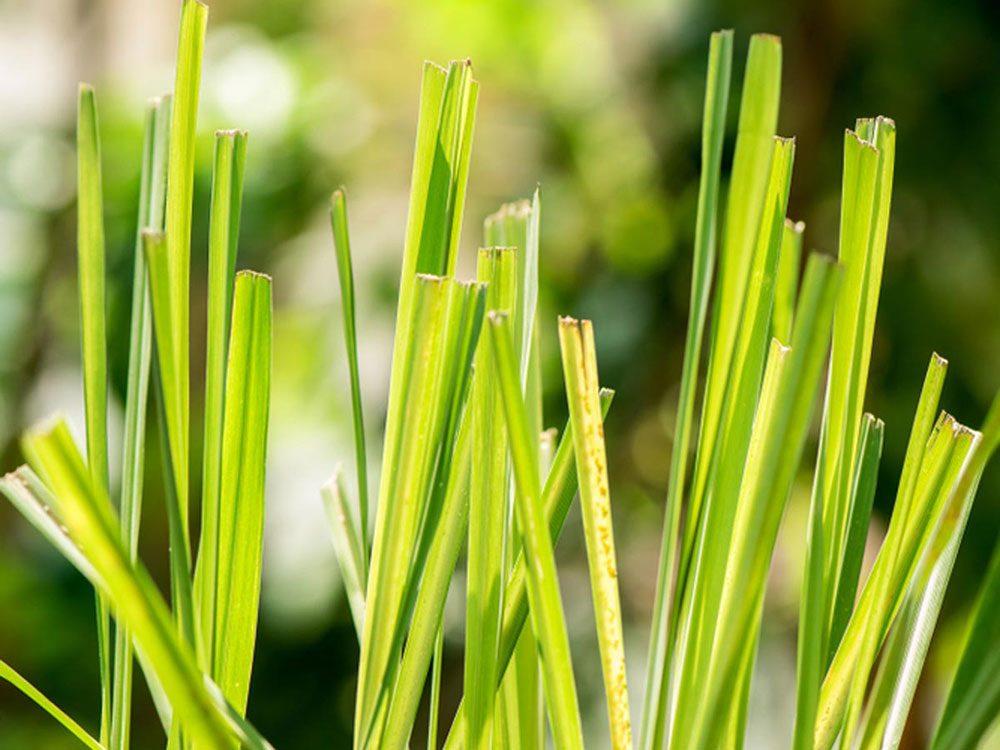 Utilisez de la citronnelle comme plante antiparasitaire pour votre pelouse.