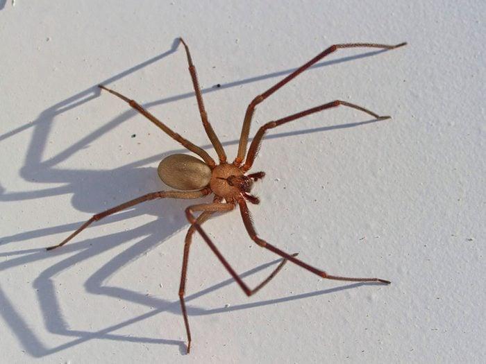 Morsure d'araignée: la veuve noire et l'araignée violon sont venimeuses.