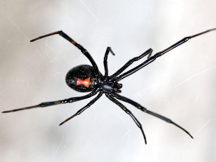 Morsure d'araignée: pourquoi les araignées mordent-elles?