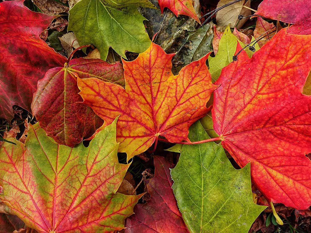 De magnifiques feuilles d'automne au Québec et au Canada.