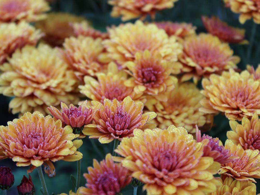 Des chrysanthèmes en fleur lors d'un automne au Québec et au Canada.
