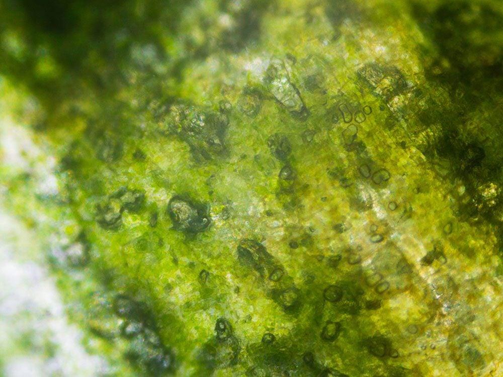 Un cornichon en image au microscope.